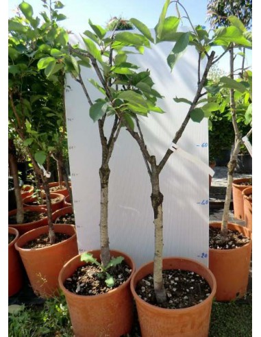 offerta 3 piante da frutto nane