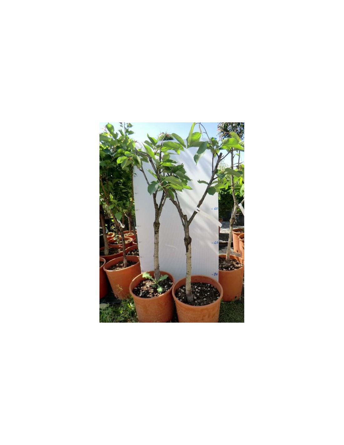 Offerta 3 piante da frutto nane for Piante da frutta nane prezzi