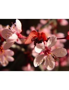 Fiore prunus cerasifera nigra