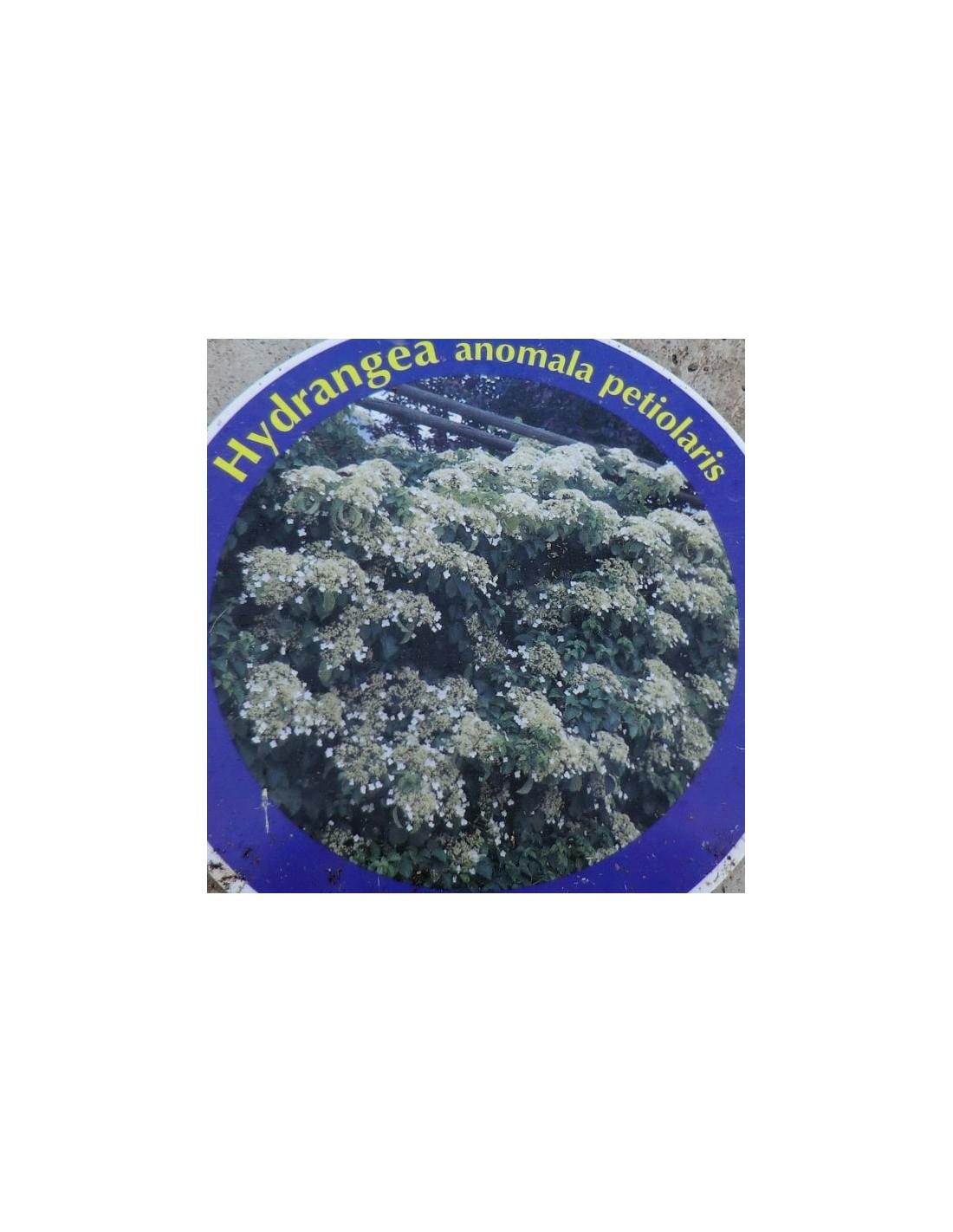 Ortensia rampicante hydrangea anomala petiolaris - Ortensia rampicante petiolaris ...