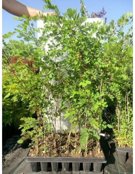 Offerta Piante : Offerta piante in alveolo giovani n