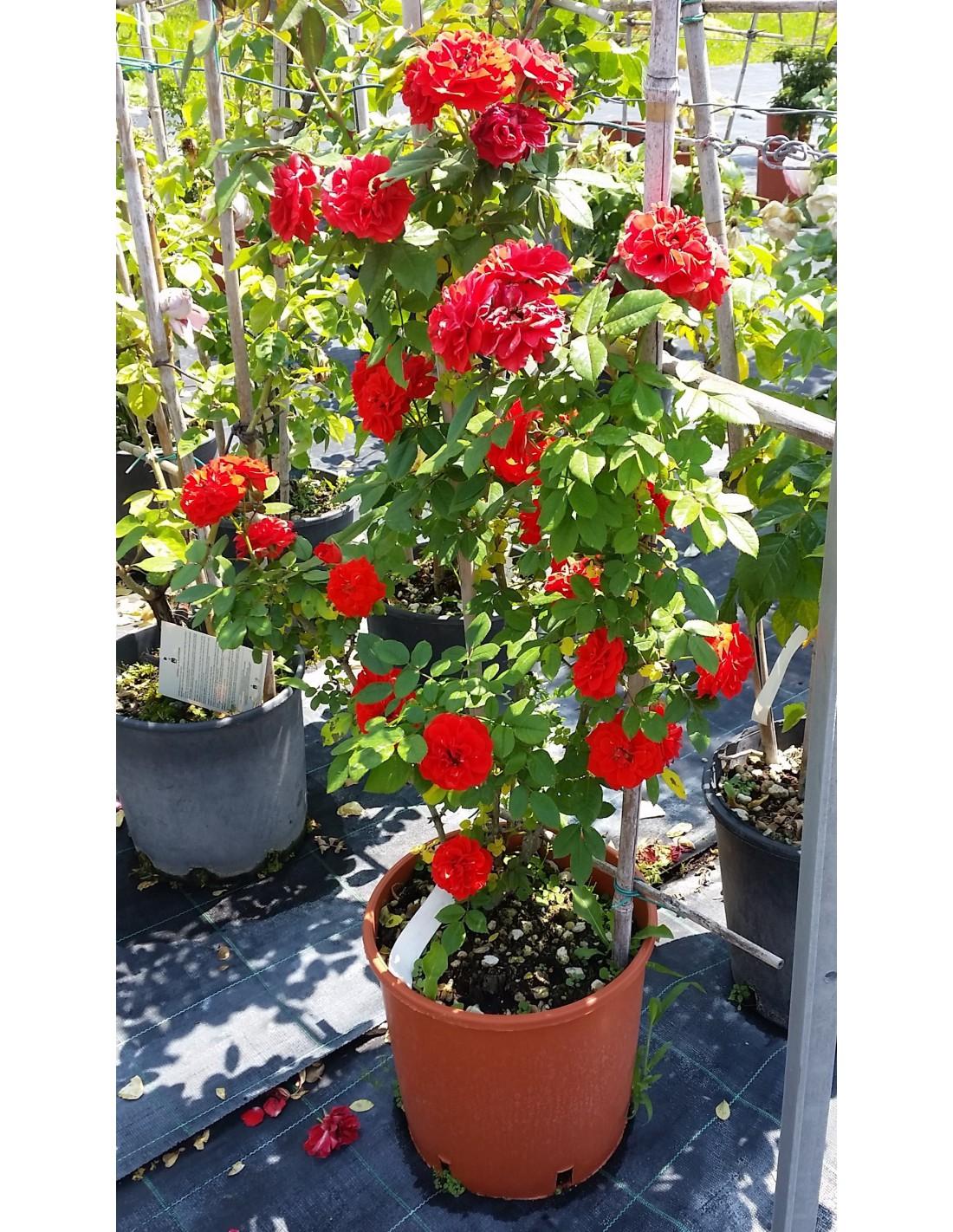 Tutori Per Rose Rampicanti rosaio rampicante la sevillanarosaio rampicante, rosa