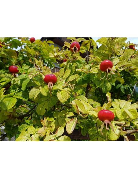frutto di rosa canina