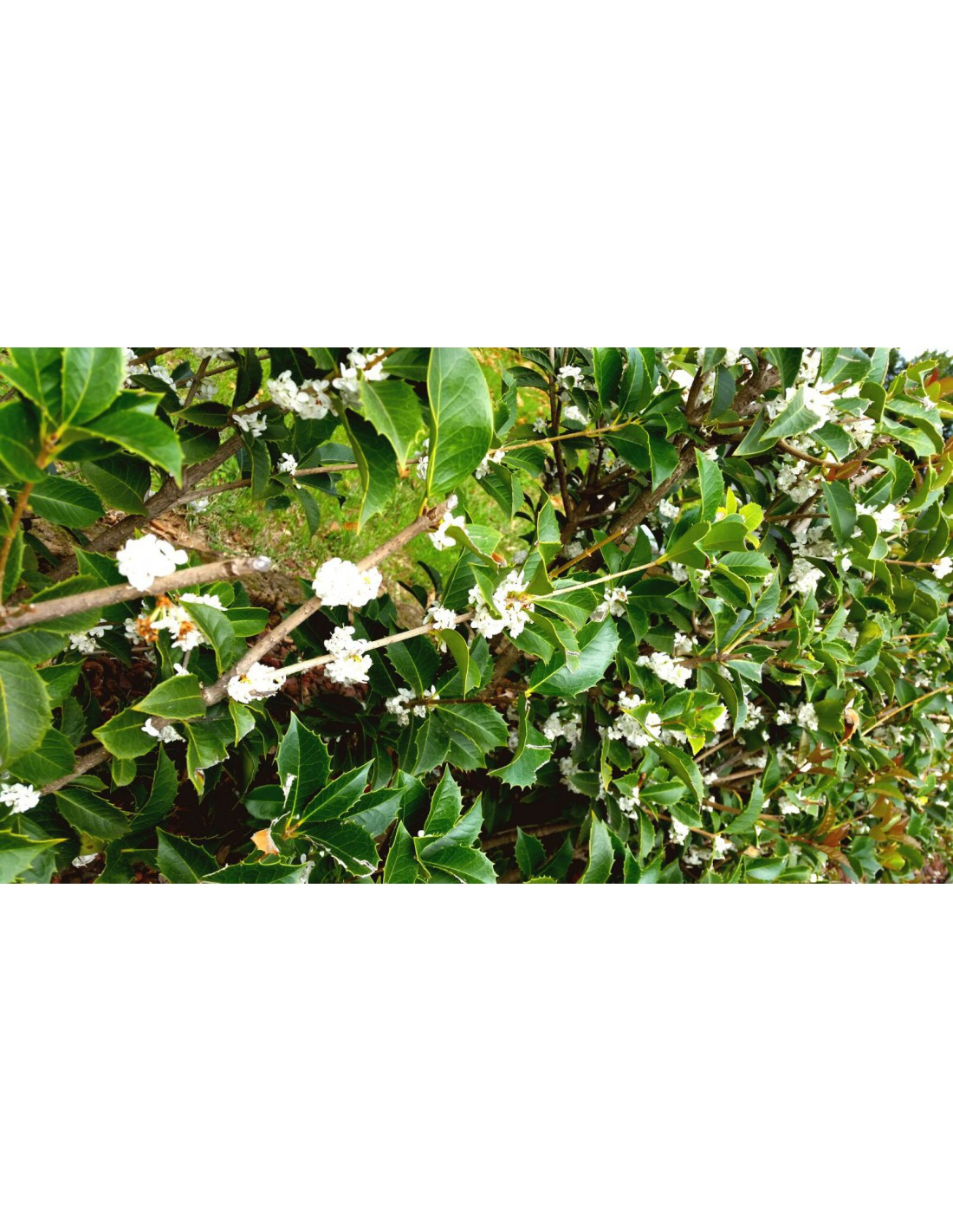 Piante Da Tartufo Bianco : Osmanto olea osmanthus fragrans fiore bianco