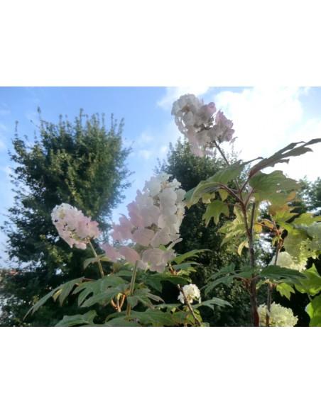 Ortensia hydrangea quercifolia snow queen for Ortensia quercifolia