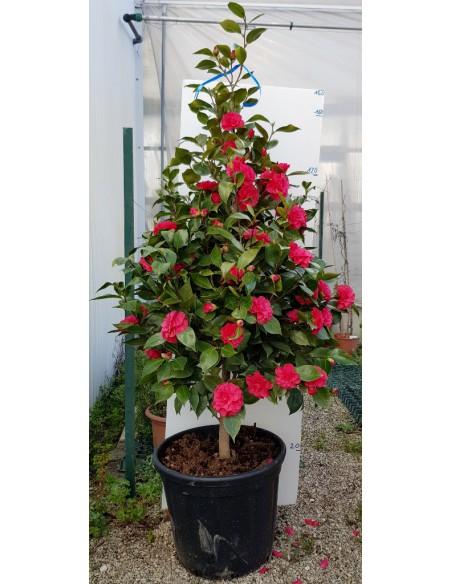 Camellia camelia japonica for Camelia japonica in vaso
