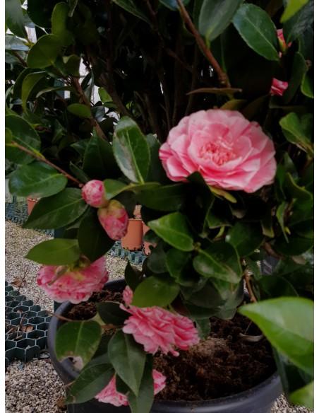 Camellia camelia japonica - Camelia pianta da esterno ...