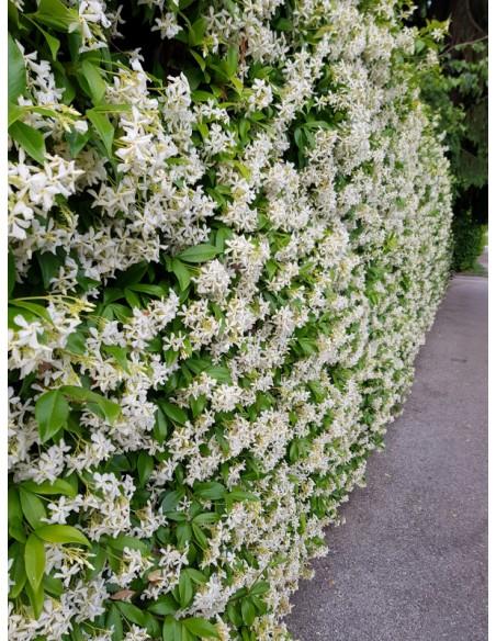 Rincospermo (falso Gelsomino)   Rhyncospermum Jasminoides   Trachelospermum