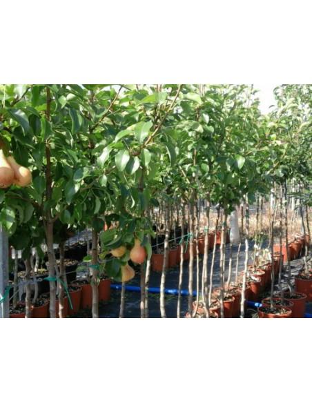 Fruttiferi